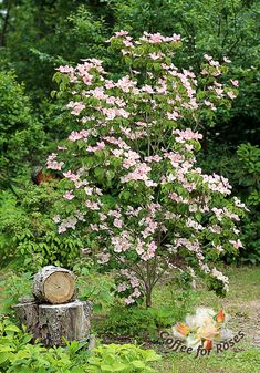 My pink kousa dogwood is young and only about eight feet high. Since it's not yet very large or mature it is more narrow than it will be once it's older.