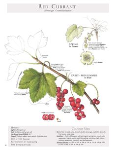 Red Currant. These are pages from the book Foraging & Feasting: A Field Guide and Wild Food Cookbook by Dina Falconi and illustrated by Wendy Hollender. Published by Botanical Arts Press. Learn more about the book and how to purchase at www.botanicalartspress.com.