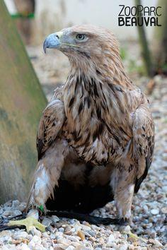 Avec ses 2 mètres d'envergure, l'aigle impérial est l'un des rapaces les plus majestueux. Il est souvent représenté sur les blasons de différents pays européens.