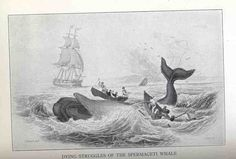 Dying Struggles of the Spermaceti Whale