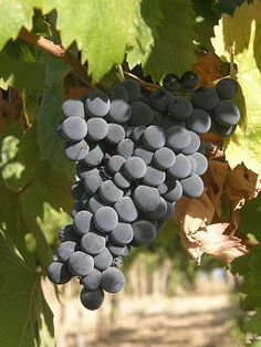 Montepulciano d'Abruzzo... my favorite Italian wine. This is the Montepulciano grape grown in the Abruzzo region of Italy. Italian wines are region based, as opposed to CA wines which are categorized by grape.