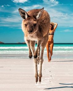 When you are about to take a great picture. and this cute dude jumps in and the shot looks even better! 👍 If you visit Lucky Bay, in Western Australia, you will find heaps of kangaroos on the beach to try to get this great pic! Australia Honeymoon, Visit Australia, Western Australia, Dog Pictures, Animal Pictures, Funny Pictures, Perth, Funny Cats, Funny Animals