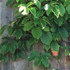 This Isnu0027t My Vine. My Vine Isnu0027t Bushy. House PlantsWrappingSunroomGoogle  ...