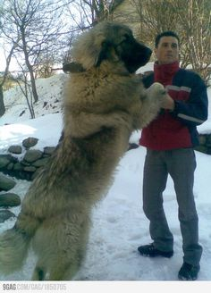 Sarplaninac - These dogs really do get this big. They can get up to 60kg +