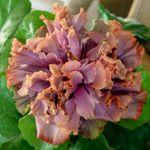Hibiscus... 'Antique Lilac'....Double...