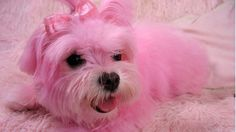 Pink maltese, remembering when my roommates did this to my beloved Tinkerbell Color Rosa, Pink Color, Pink Purple, Blush Pink, Cute Pink, Pretty In Pink, Mary Kay, Cute Dog Photos, I Believe In Pink