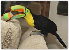 Emerald Forest Bird Gardens-Aracaris-Toucans-Toucanets-Ramphastids