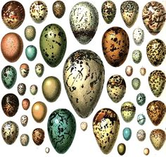 Spotted or streaked eggs develop when pigment is deposited as they rotate