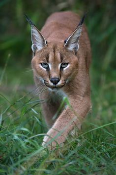 ᐈ Caracal stock pictures, Royalty Free caracal images photos Caracal Caracal, Serval, Big Cats, Cool Cats, Cats And Kittens, Beautiful Cats, Animals Beautiful, Cute Animals, Exotic Cats