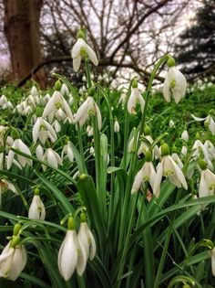 First Snowdrops of spring.