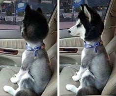 This is what he looked like when his owner picked him up from the groomer.  A bobblehead.