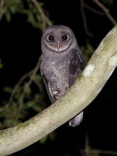 Greater Sooty Owl (Tyto tenebricosa). Photo by Richard Jackson.