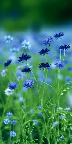 Bellasecretgarden — (via Cornflowers | ɱ ɛ ą ɖ ơ ῳ ʂ… | Pinterest)