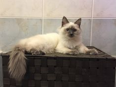 """""""Ouzo"""" our sweet male Blue Point Ragdoll kitten (5 months old)."""
