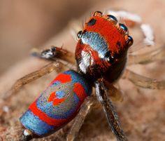 Beautiful Australian Peacock Spiders #naturaleza #fotografia