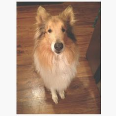 baby butters. rough collie