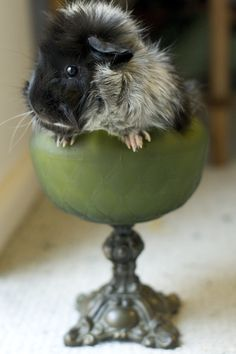 This Goblet is Sufficient. #guinea pigs #pets