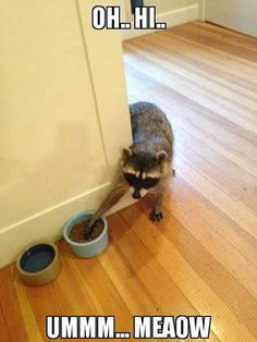 Oh...Hi...Ummm...Meow  Raccoon sneaking around the corner and sneaking food out of a pets food bowl.