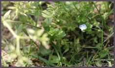 Common names: Persian speedwell, Field speedwell, bird's-eye speedwell; Scientific name: Veronica persica; Family: Plantaginaceae; Genus: Veronica. Plant type: Annuals; Height: 10-20 cm; Flowering time: March - May; Flower color: Blue; The leaves are green, Opposite, ovate-lanceolate to suborbicular. . http://www.fiori-e-piante.com/veronica-persica/