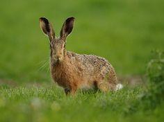 Brown Hare green field, Suffolk dusk. Lepus europaeus