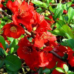 Chaenomeles x superba Nicoline - 1 shrub Buy online order yours now