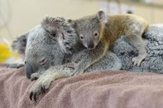Mother and baby koala.