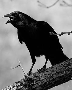 """Makes me think of the raven in Gaiman's American Gods.....""""C'mon just say it....say it once....""""  Classic response."""