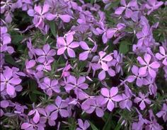 Phlox divaricata; Blue phlox; Family: Phlox (Polemoniaceae); Type: Perennial; Mature Size: 7-12 inches; Shape: creeping; Flower Colors: blue, lavender; Bloom Season:   May-June; Exposure: partial shade; Soil Moisture: moist; attracts birds and butterflies; resistant to deer; bedding or border  understory