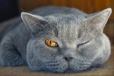 keeping an eye on you.I love grey cats. Beautiful Cats, Animals Beautiful, Cute Animals, Grey Cats, Blue Cats, Stuffed Animals, Gatos Cat, Photo Chat, British Shorthair
