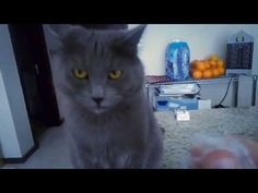 Blu The Cat Has a Crazy Reaction to the Sound of Crinkling Plastic!