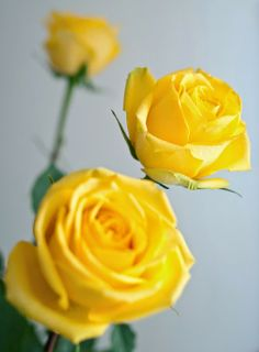 Yellow Roses: Rose Meanings Explained | http://whatwomenloves.blogspot.com/2014/05/rose-meanings-explained.html
