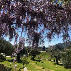 Wisteria sinensis, view from veranda! Sustainable Tourism, Spring Has Sprung, Wisteria, Sustainability, Muse, Garden, Garten, Lawn And Garden, Gardens