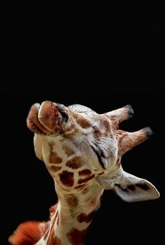 Giraffe Art, Cute Giraffe, Giraffe Pictures, Cute Animal Pictures, Animals And Pets, Funny Animals, Cute Disney Wallpaper, Tier Fotos, Cute Little Animals