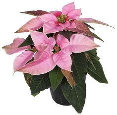 Euphorbia Princettia soft Pink