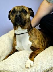 Lexus is an adoptable Pit Bull Terrier Dog in Utica, NY. Please come visit me at the Stevens-Swan Humane Society or call to find out about me at 738-4357....