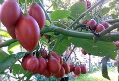 Benefícios do tomate de árvore - tamarillo - O tomate de árvore (tamarillo) é uma fruta rica em vitaminas e minerais, especialmente pro vitamina A, vitamina B6, C e E. E minerais como cálcio, ...