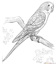 How to draw a budgerigar | Step by step Drawing tutorials