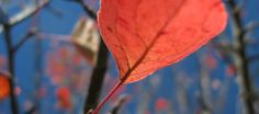 A red crabapple leaf under the blue skies of Zagori during fall