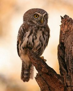 Pearl-spotted Owlet in Southern Africa by_Lazyboy_FB via Owl Pages