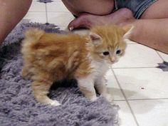 Manx Kitten! Look at that adorable nub!!!