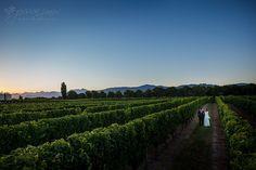 Beautiful vines show with Marlborough backdrop (Drylands)