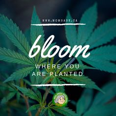 Bloom where you are planted. Come visit us in www.momsask.ca where our flowers our in full bloom ;)	  #mailordermarijuana #weed #weedlife #flyhigh #weeddeliveryservice #marijuana #marijuanaonline #Saskatchewan #goodvibes Plant Order, Bloom Where You Are Planted, Weed, Mom, Flowers, Plants, Life, Marijuana Plants, Plant