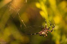 https://flic.kr/p/TPVwhj   Hunting   jcfajardophotography.com/  Una mañana mientras estaba observando, junto a un pantano, aves e intentaba aproximarme a la orilla para poder estar tranquilamente sin molestar mucho me encontré con esta araña junto a unos matorrales. Mientras jugaba con desenfoques, dobles exposiciones un mosquito cayó en sus redes y se abalanzó a por el. Este es el momento en que se lanzaba antes de volver a su postura habitual.  One morning as I was watching, next to a…