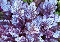 Lehtevät keijunkukat ovat kauniita jo varhain keväällä ja koristavat penkkejä myöhään syksyyn saakka. Keijunkukka on myös loistava valinta piharuukkuun.
