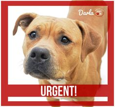 URGENT! We are out of space at the shelter, and Darla is out of time. She is a 4 year old, 70 pound bulldog mix and needs rescue, foster or adoption by Wednesday, March 4th at 5 pm. Email: To rescue: rescue@dekalbanimalservices.com To adopt: adoption@dekalbanimalservices.com To foster: volunteer@dekalbanimalservices.com