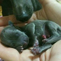 Italian Greyhound (Sighthound) breeder in Europe Sunnymoon Place. You could buy Italian Greyhound puppy here. Italian Greyhound Puppies, Animals, Animales, Animaux, Animal, Animais