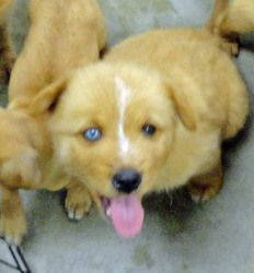 ANNIE is an adoptable Chow Chow Dog in Wilmington, OH. Please complete the pre-adoption Questionnaire at Clintoncohumanesociety.org We will promptly contact you. Beautiful litter of mixed breed pups a...