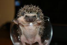 African Pygmy Hedgehog, too cute!