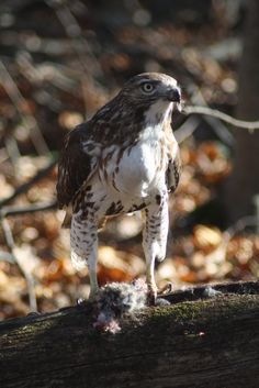 Redtail in our back woods...snacking