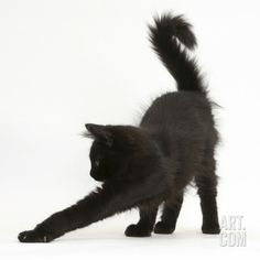 Fluffy Black Kitten, 12 Weeks Old, Stretching Photographic Print by Mark Taylor at Art.com